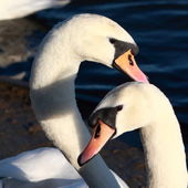 Mute Swans courting — Stock Photo