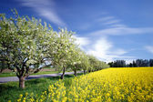 View to apple trees and rape field — Stock Photo