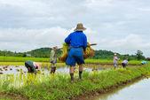 Farmer plant rice seedlings — Stock Photo
