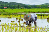 Farmer plant rice seedlings — Stock Photo