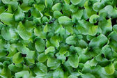 Baby lettuce plants closely packed — Stock Photo