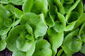 Wet small lettuces shot from above — Stock Photo
