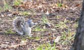 Squirrel at central park — Photo