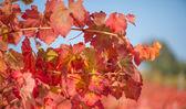 Vineyard in autumn season — Stock Photo
