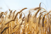 Golden wheat field with blue sky — Stock Photo