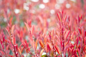 Photinia plant at spring — Stock Photo