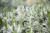 Rosemary aromatic plant — Stock Photo