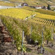 Vineyards of the Lavaux region — Stock Photo