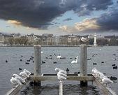 Lago di Ginevra con gabbiani — Foto Stock