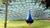 Peacock. — Stock Photo