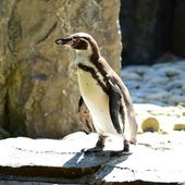 Penguin. — Foto de Stock