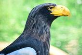Eagle. — Stock Photo