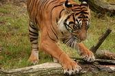 Tiger. — Stock Photo