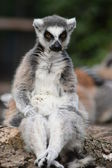 Lemur. — Stock Photo