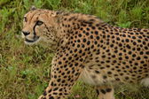 Cheetah. — Stock Photo