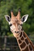 Giraffe. — Stockfoto