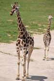Giraffe. — Stock Photo