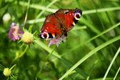 Schmetterlin. — Stockfoto