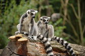 Lemur. — Stock Photo