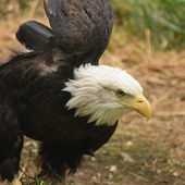 Eagle. — Stock Photo