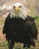 鹰. — 图库照片