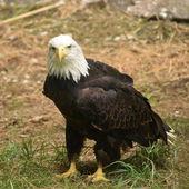 Eagle. — Zdjęcie stockowe