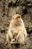 Macaco. — Foto Stock