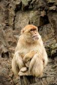 Scimmia. — Foto Stock