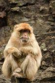 Monkey. — Photo