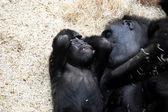 Gorilla. — Stockfoto