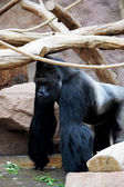 Gorilla. — Stock Photo