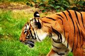 Tigers. — Stockfoto