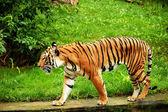 Tigre. — Foto de Stock