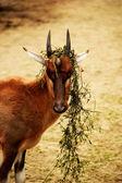 Goat. — Stock Photo