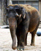 Elephant. — Photo