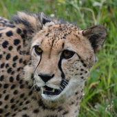 Cheetah. — Stock Photo