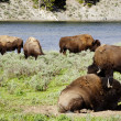 Herd of Bison in Yellowstone national park USA — Stok fotoğraf #50845133
