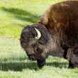 Bison  in Yellowstone national park USA — Stockfoto #50845175