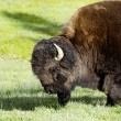 Bison  in Yellowstone national park USA — Foto de Stock   #50845175