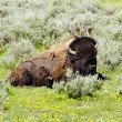 Bison  in Yellowstone national park USA — Stok fotoğraf #50845217