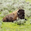Bison  in Yellowstone national park USA — ストック写真 #50845217