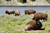 Herd of Bison  in Yellowstone national park USA — Stock Photo