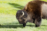 Bison  in Yellowstone national park USA — Stock Photo