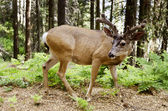 The deer  in  national park USA — Stock Photo