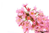 Blossoming  twig with pink flowers — Stok fotoğraf