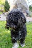 Pies stojący na trawie — Foto Stock