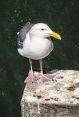 Seagull on pier pole — Stock Photo