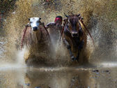 SUMATERA - AUGUST 24: An unidentified jockey steers two bulls across the muddy paddy fields in the bull race of the 'Pacu Jawi' festival on August 24, 2013 in Batu Sangkar, West Sumatera, Indonesia. — Stock Photo