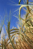 Wheat ready for harvest — Stock Photo