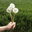 Hands holding a Dandelions — Stock Photo #46606111
